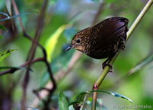 scaly breasted wren babbler