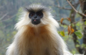 Goldlangur in Bhutan
