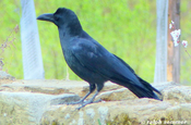 large billed crow