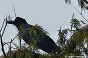 large bille crow