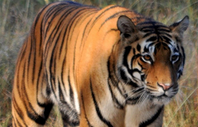 Tiger im Nationalpark Manas in Indien