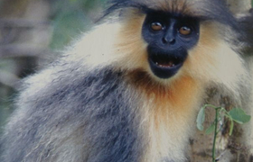 Goldlangur in Indien